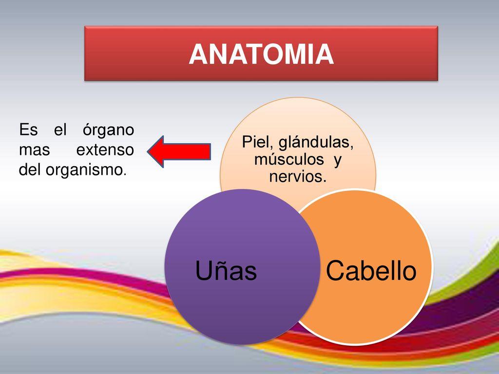 Famoso Anatomía Y Fisiología Del Sistema Tegumentario Foto ...