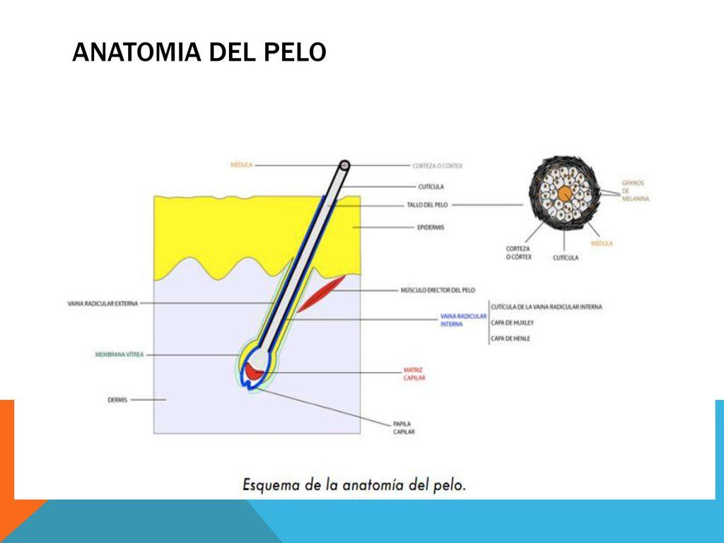 Magnífico Anatomía Eje Del Pelo Modelo - Anatomía de Las Imágenesdel ...