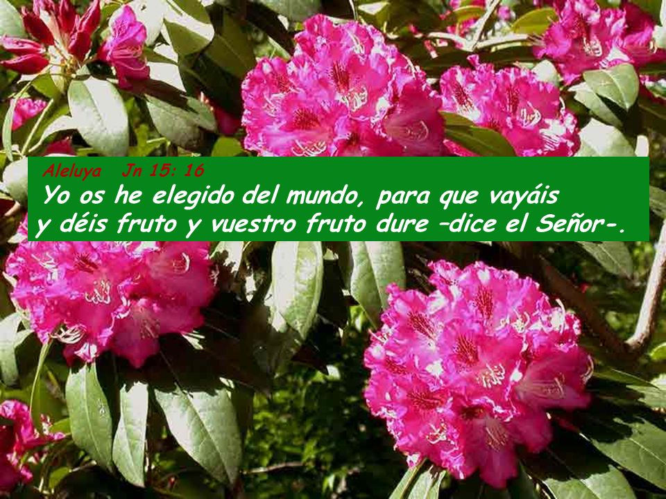 Aleluya Jn 15: 16Yo os he elegido del mundo, para que vayáis y déis fruto y vuestro fruto dure –dice el Señor-.