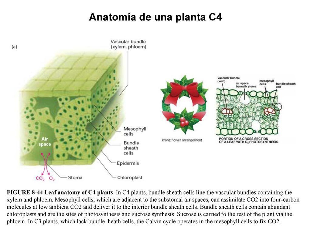 Hermosa Mnemotécnico Para La Anatomía Imagen - Anatomía de Las ...
