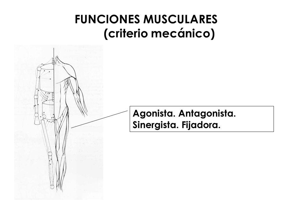 FUNCIONES MUSCULARES (criterio mecánico)