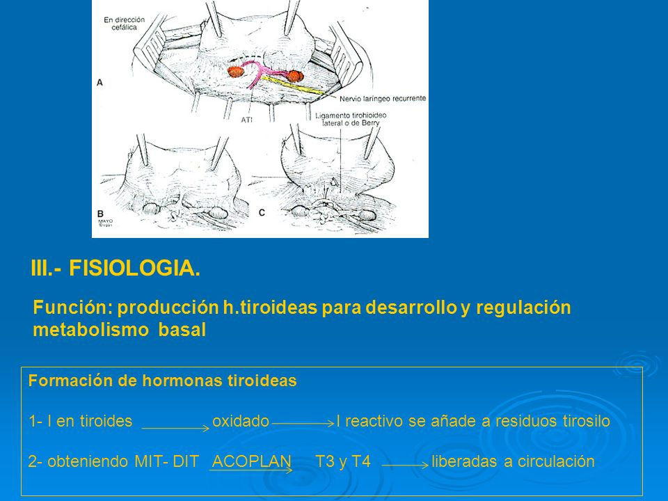 III.- FISIOLOGIA. Función: producción h.tiroideas para desarrollo y regulación metabolismo basal. Formación de hormonas tiroideas.