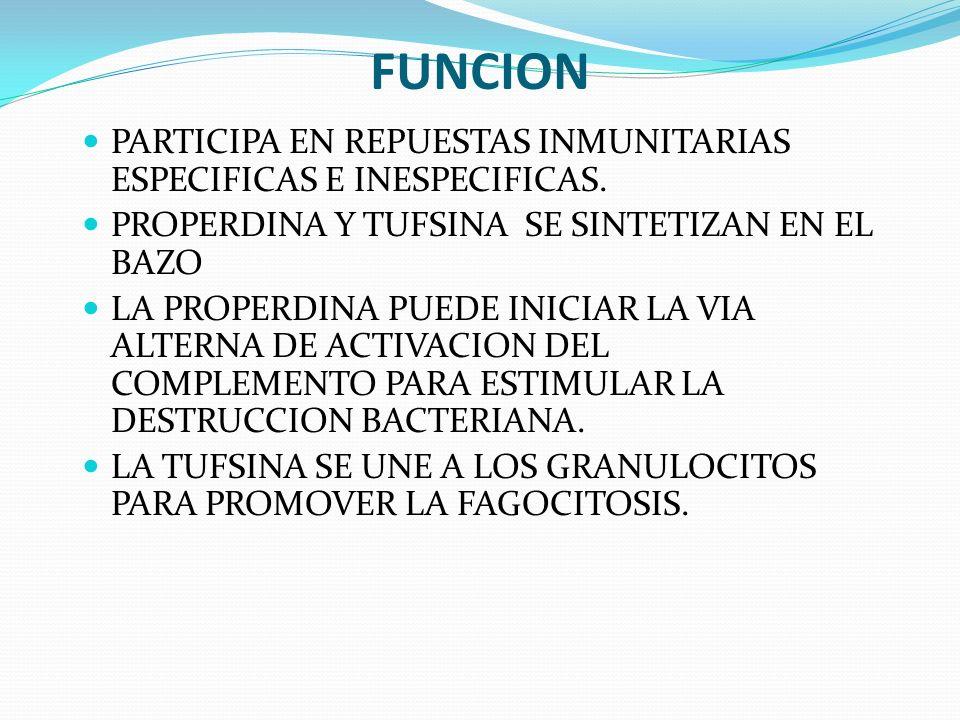 FUNCION PARTICIPA EN REPUESTAS INMUNITARIAS ESPECIFICAS E INESPECIFICAS. PROPERDINA Y TUFSINA SE SINTETIZAN EN EL BAZO.