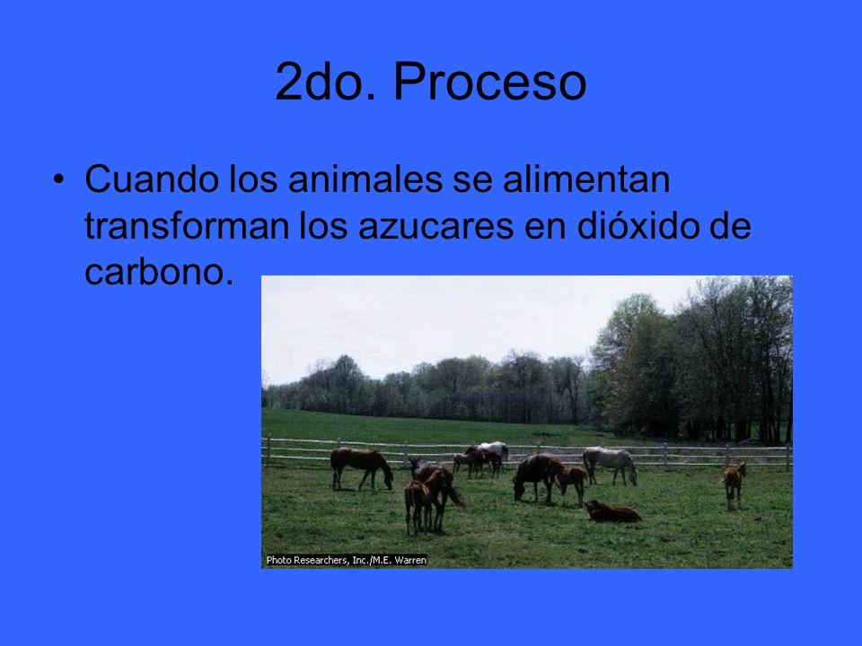 2do. Proceso Cuando los animales se alimentan transforman los azucares en dióxido de carbono.