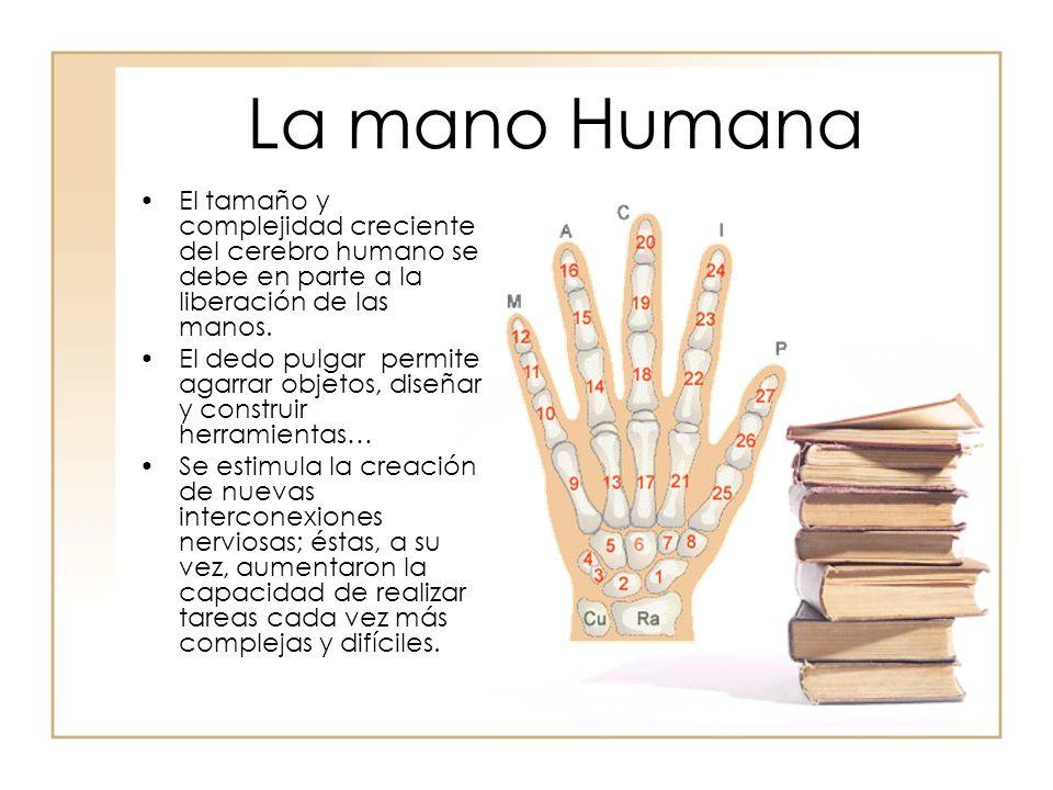 La mano Humana El tamaño y complejidad creciente del cerebro humano se debe en parte a la liberación de las manos.