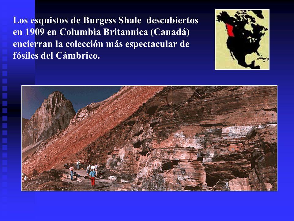 Los esquistos de Burgess Shale descubiertos en 1909 en Columbia Britannica (Canadá) encierran la colección más espectacular de fósiles del Cámbrico.