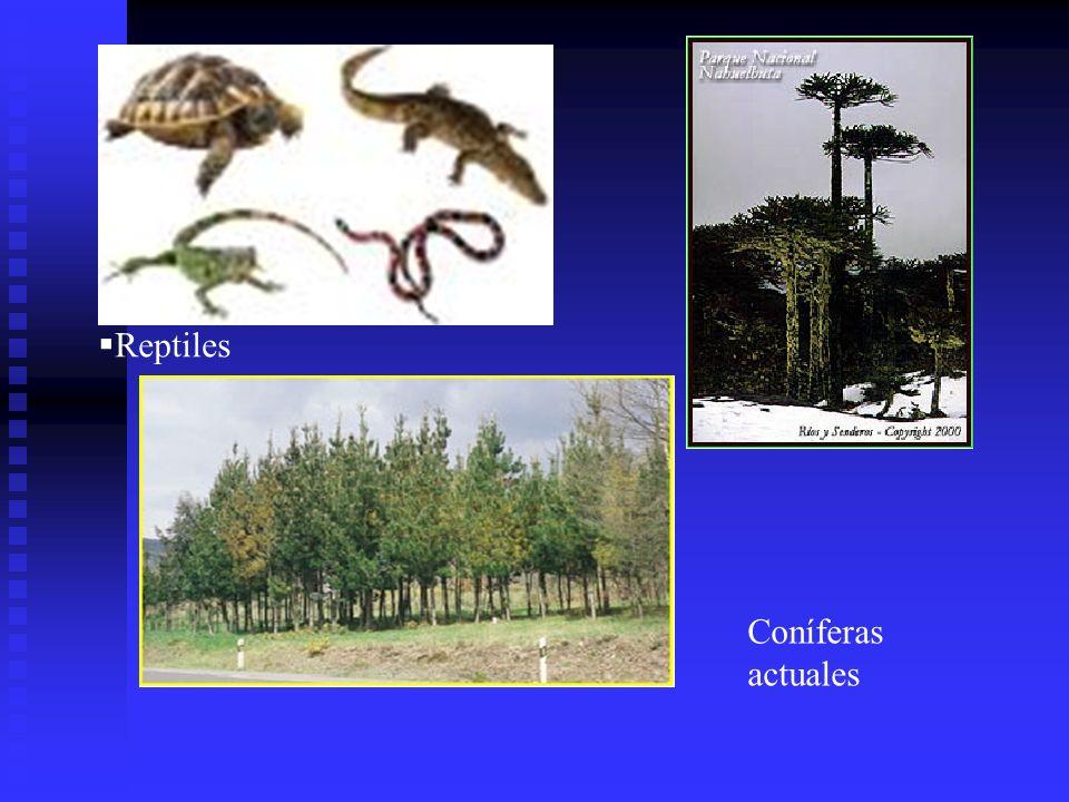 Reptiles Coníferas actuales