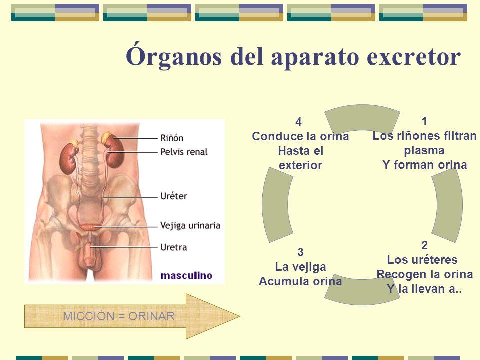 Órganos del aparato excretor