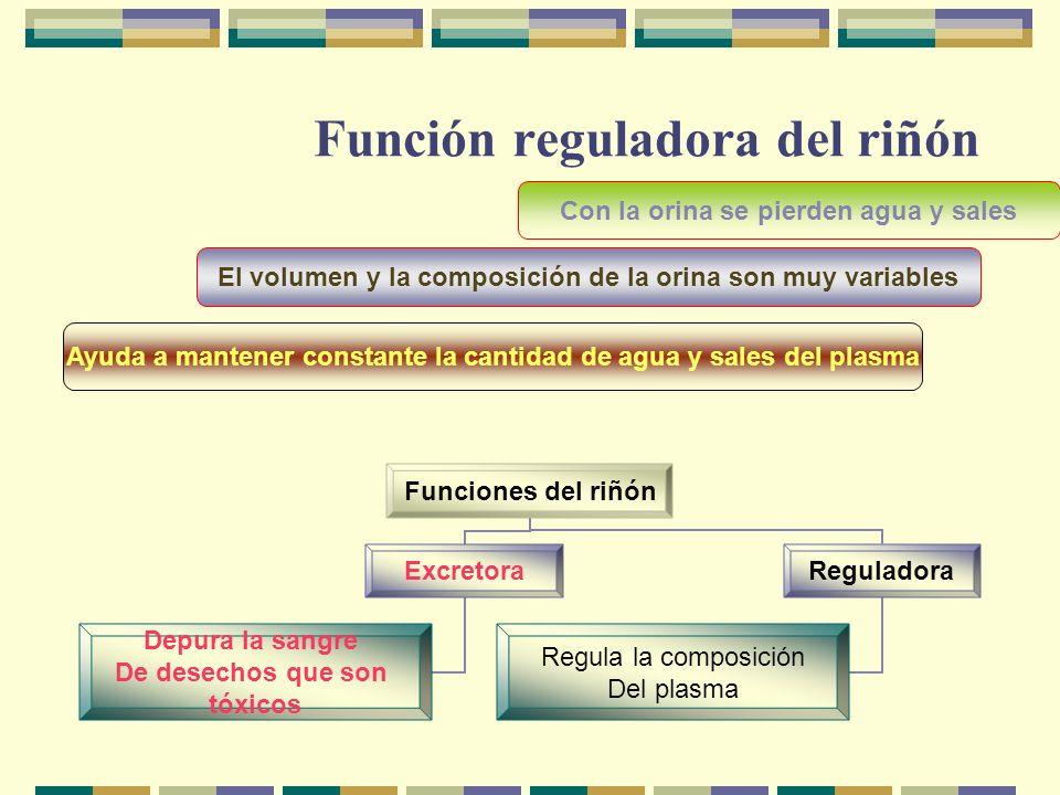 Función reguladora del riñón