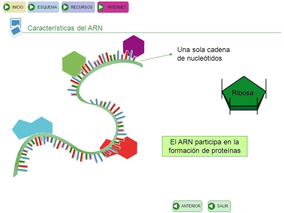 El ARN participa en la formación de proteínas