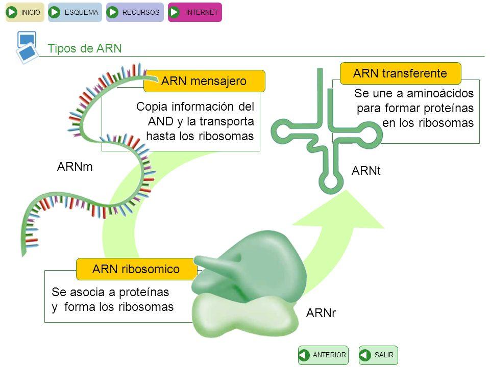 Se une a aminoácidos para formar proteínas en los ribosomas