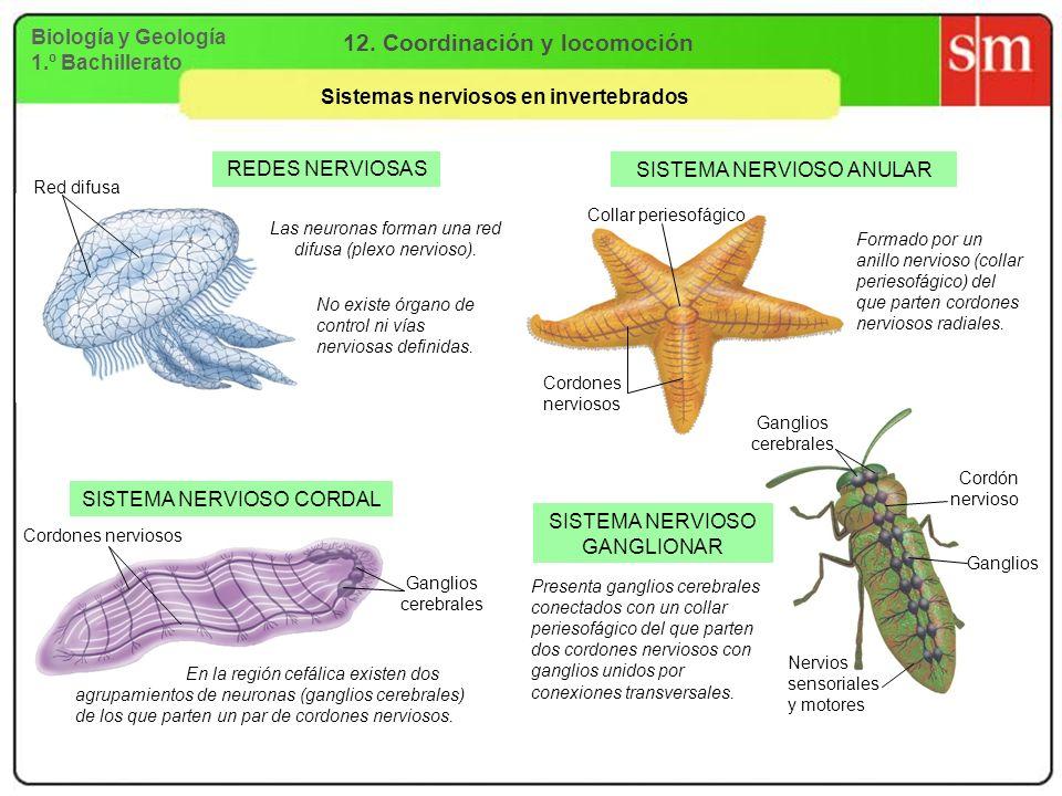 12. Coordinación y locomoción Sistemas nerviosos en invertebrados
