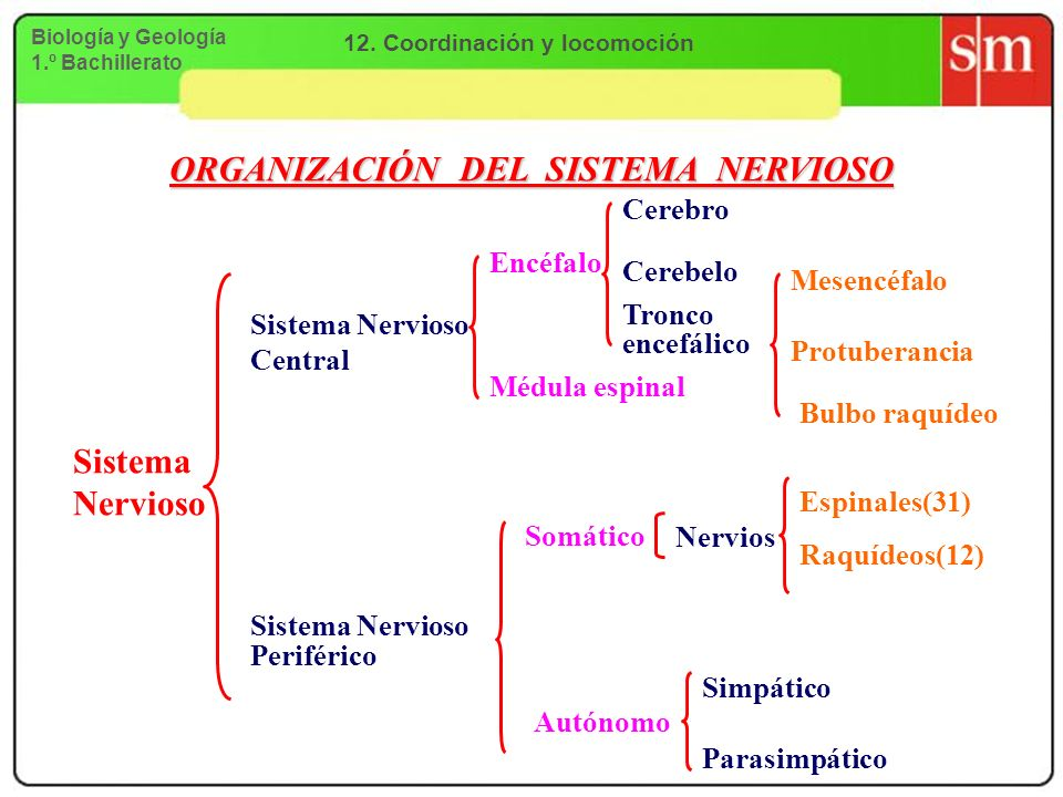 12. Coordinación y locomoción ORGANIZACIÓN DEL SISTEMA NERVIOSO