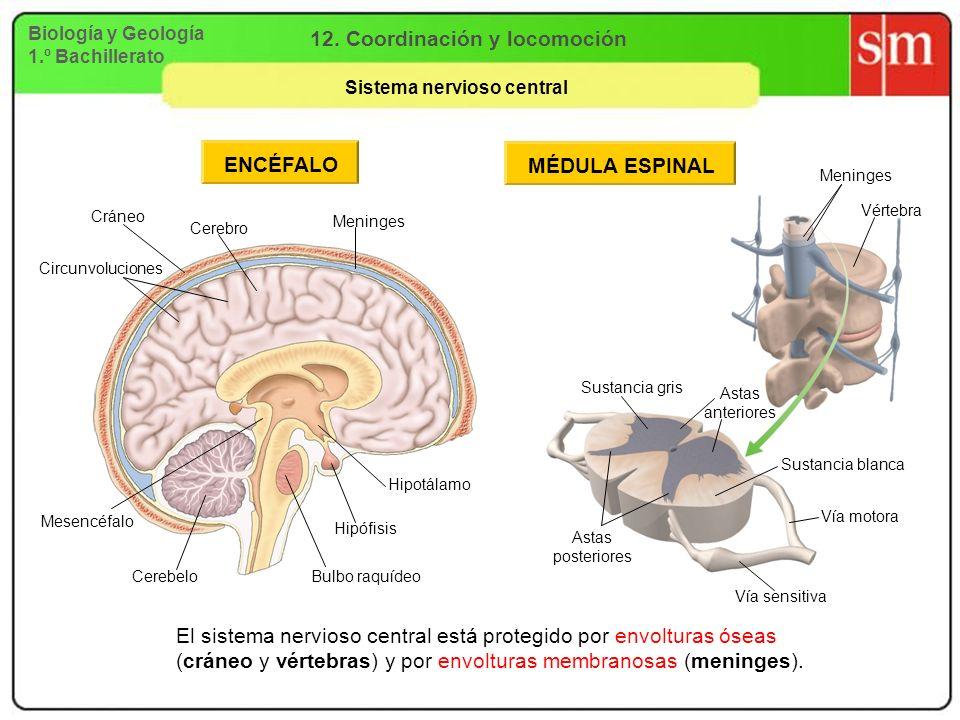 12. Coordinación y locomoción Sistema nervioso central