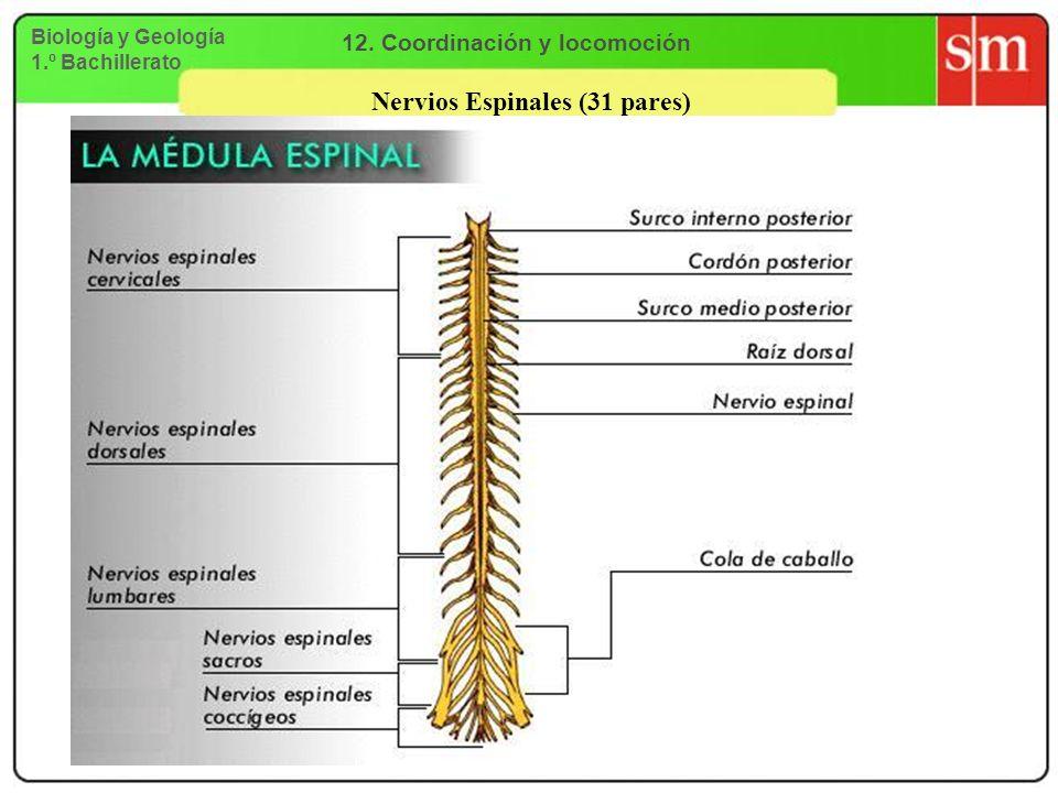 12. Coordinación y locomoción Nervios Espinales (31 pares)