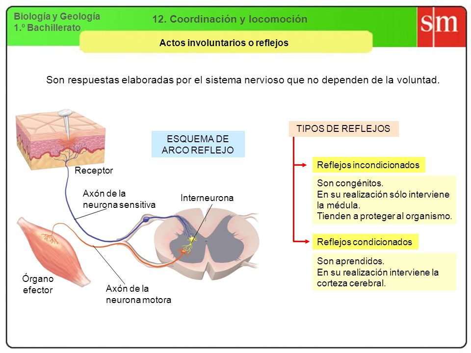 12. Coordinación y locomoción Actos involuntarios o reflejos