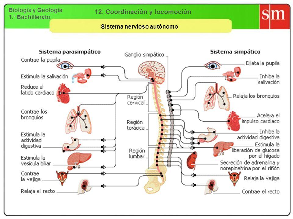 12. Coordinación y locomoción Sistema nervioso autónomo