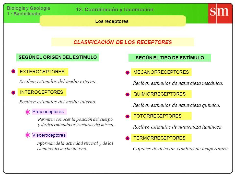 12. Coordinación y locomoción CLASIFICACIÓN DE LOS RECEPTORES
