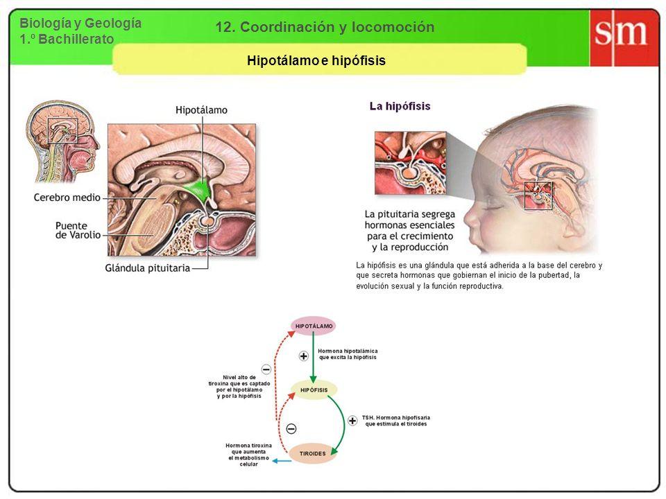 12. Coordinación y locomoción Hipotálamo e hipófisis
