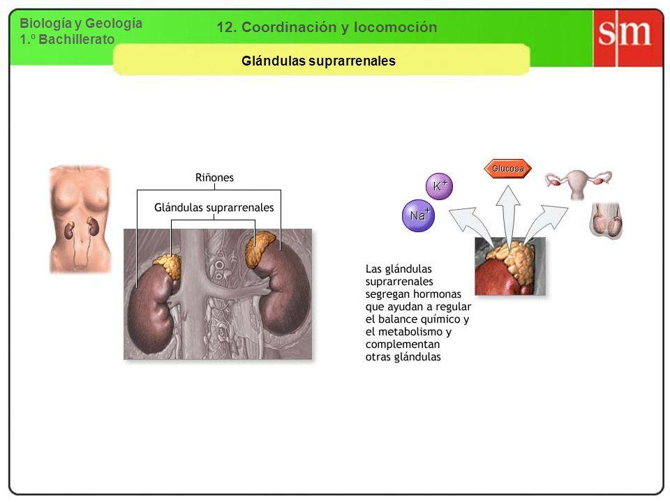 12. Coordinación y locomoción Glándulas suprarrenales