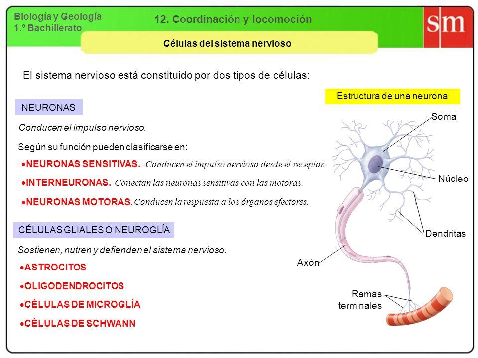12. Coordinación y locomoción Células del sistema nervioso