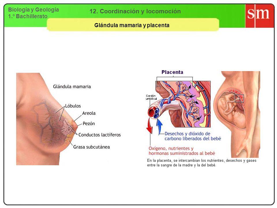 12. Coordinación y locomoción Glándula mamaria y placenta