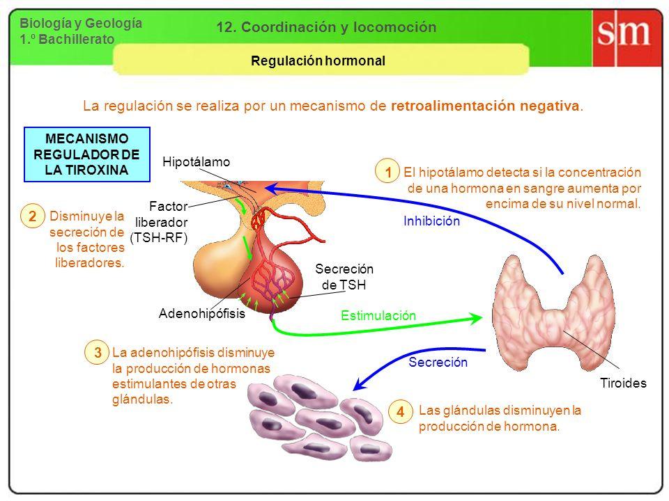 12. Coordinación y locomoción MECANISMO REGULADOR DE LA TIROXINA