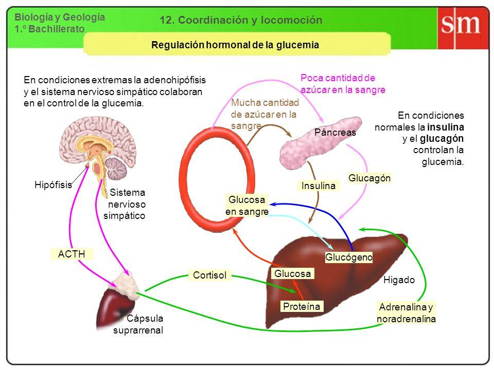 12. Coordinación y locomoción Regulación hormonal de la glucemia