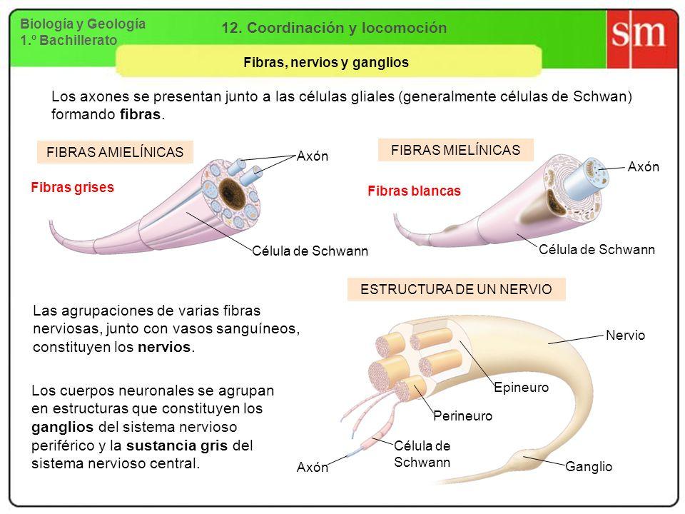12. Coordinación y locomoción Fibras, nervios y ganglios