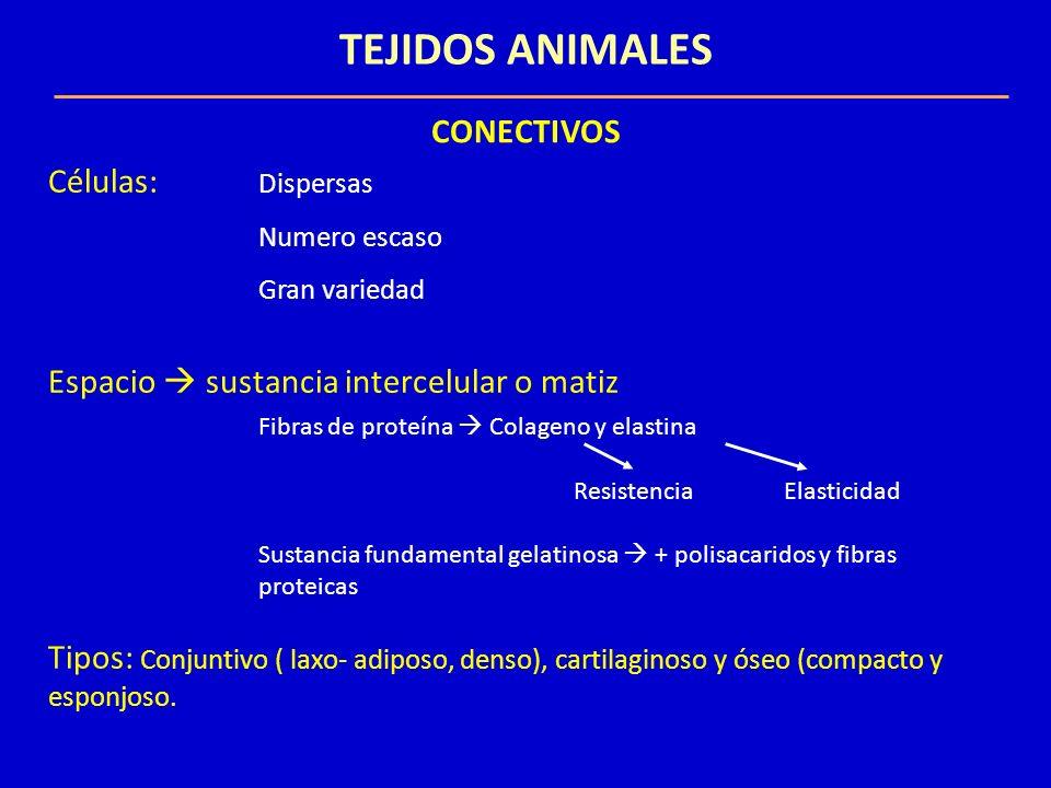 TEJIDOS ANIMALES CONECTIVOS Células: Dispersas
