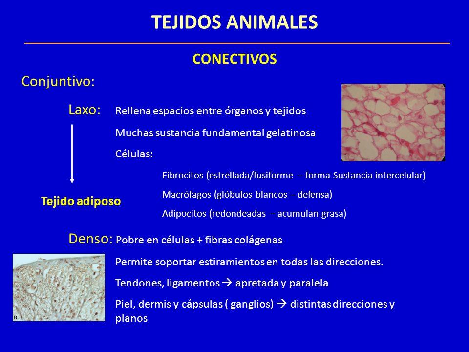 TEJIDOS ANIMALES CONECTIVOS Conjuntivo: