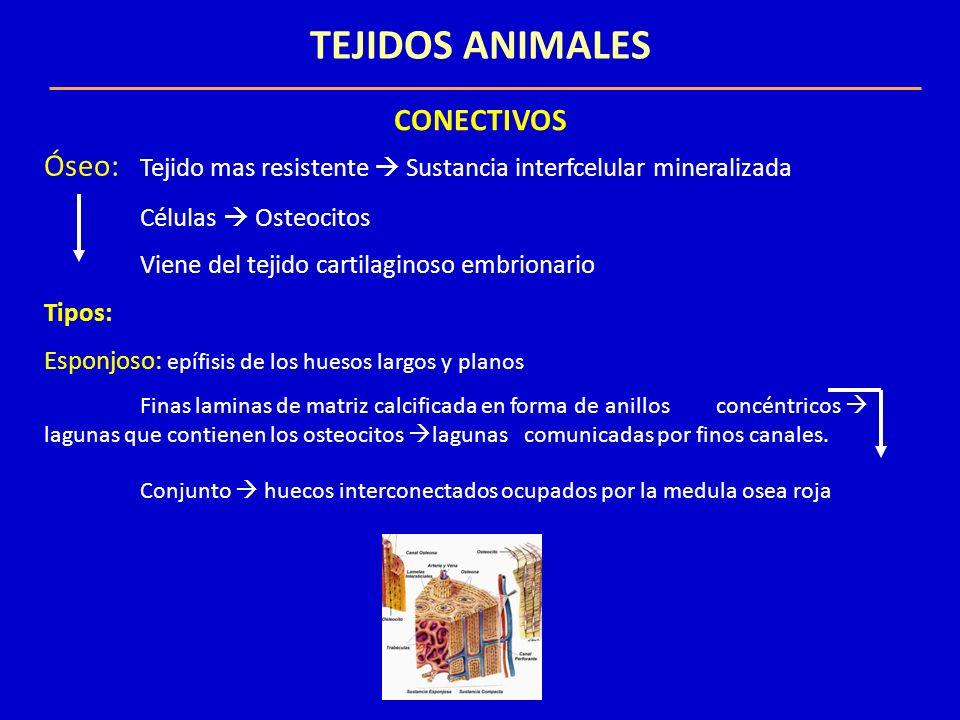 TEJIDOS ANIMALES CONECTIVOS