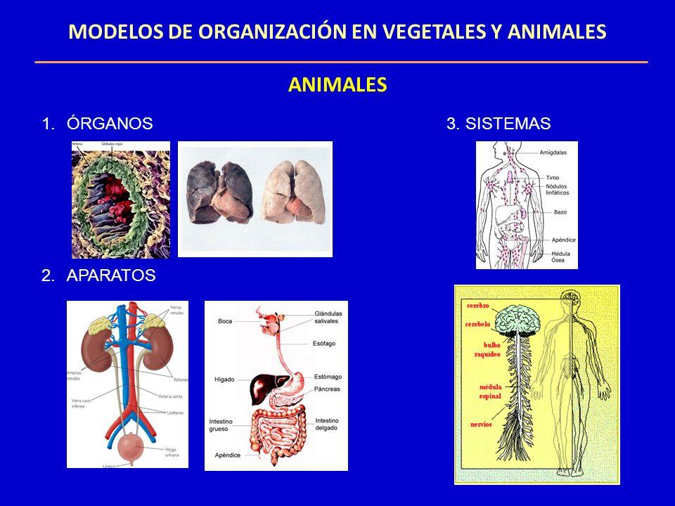 MODELOS DE ORGANIZACIÓN EN VEGETALES Y ANIMALES