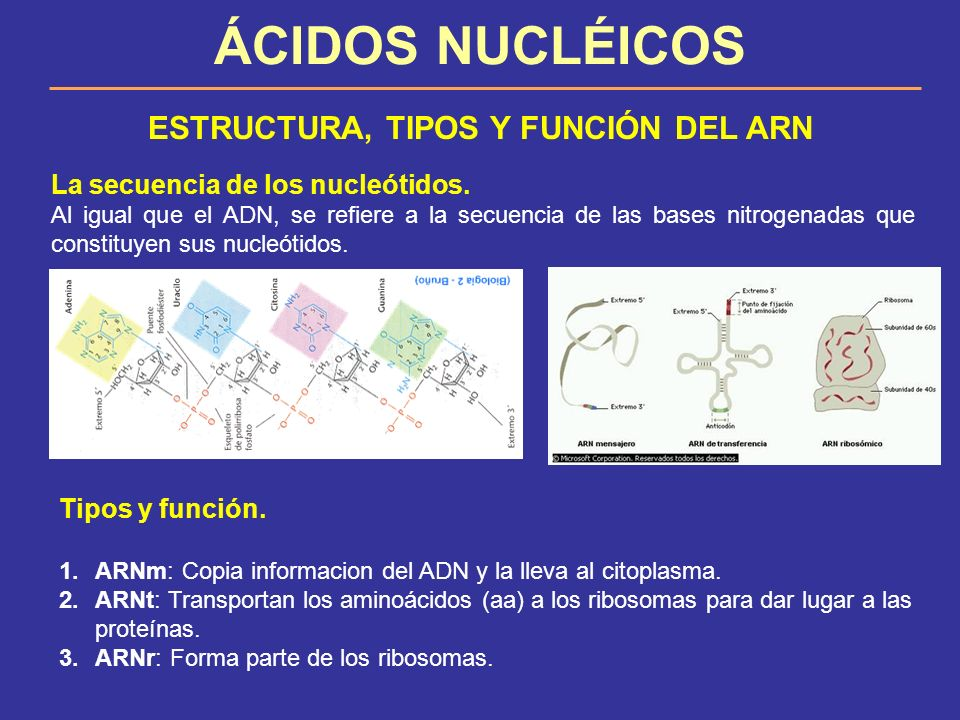 ESTRUCTURA, TIPOS Y FUNCIÓN DEL ARN