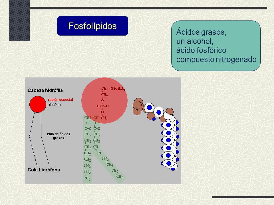 Fosfolípidos Ácidos grasos, un alcohol, ácido fosfórico