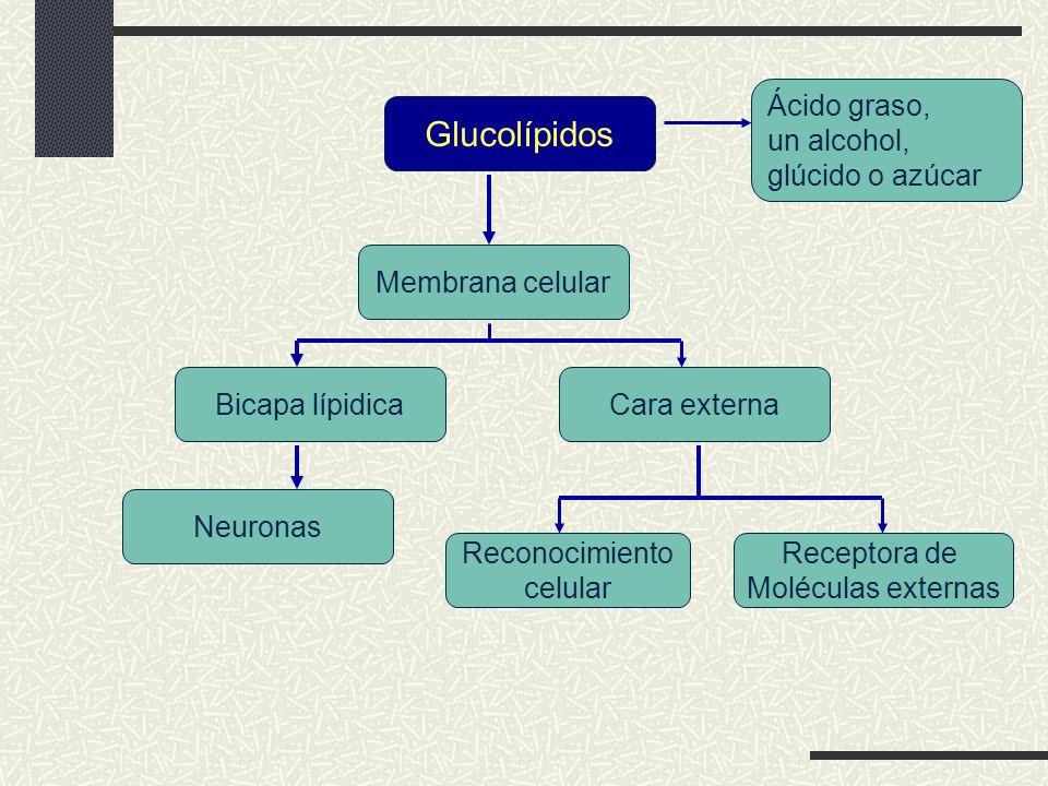 Glucolípidos Ácido graso, un alcohol, glúcido o azúcar