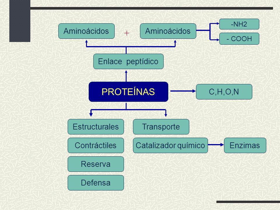 + PROTEÍNAS Aminoácidos Aminoácidos Enlace peptídico C,H,O,N