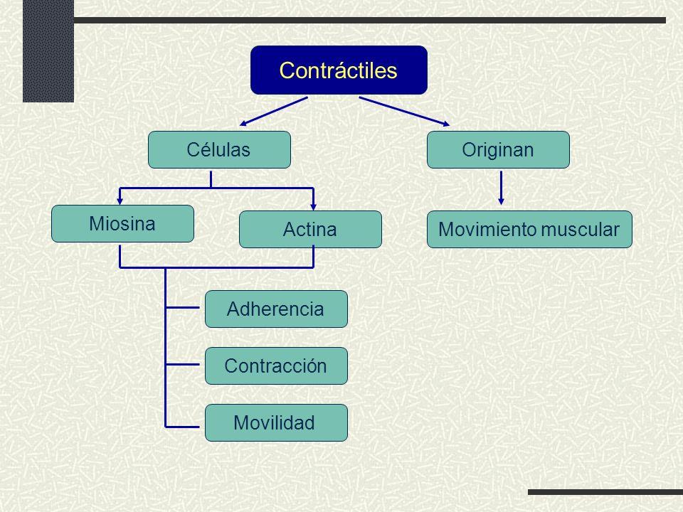 Contráctiles Células Originan Miosina Actina Movimiento muscular
