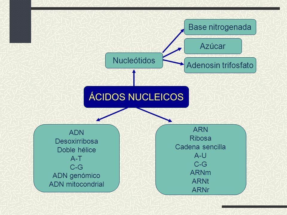 ÁCIDOS NUCLEICOS Base nitrogenada Azúcar Nucleótidos