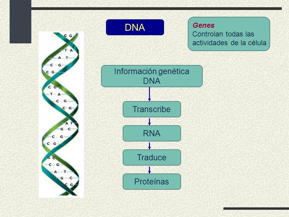 DNA Información genética DNA Transcribe RNA Traduce Proteínas Genes