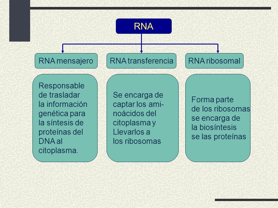 RNA RNA mensajero RNA transferencia RNA ribosomal Responsable