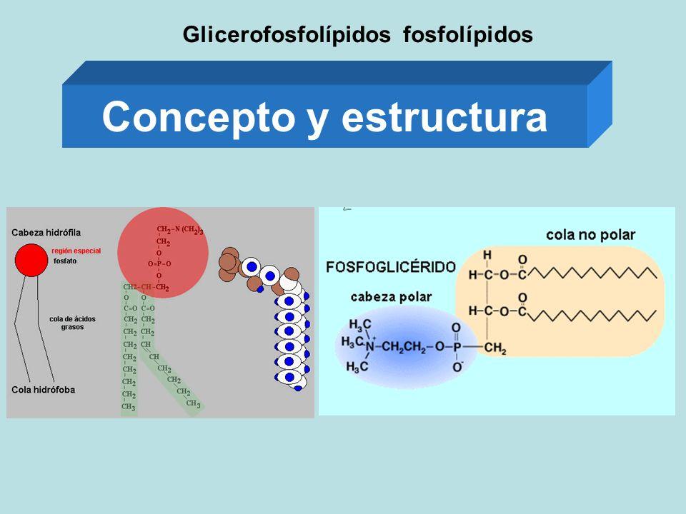 Glicerofosfolípidos fosfolípidos