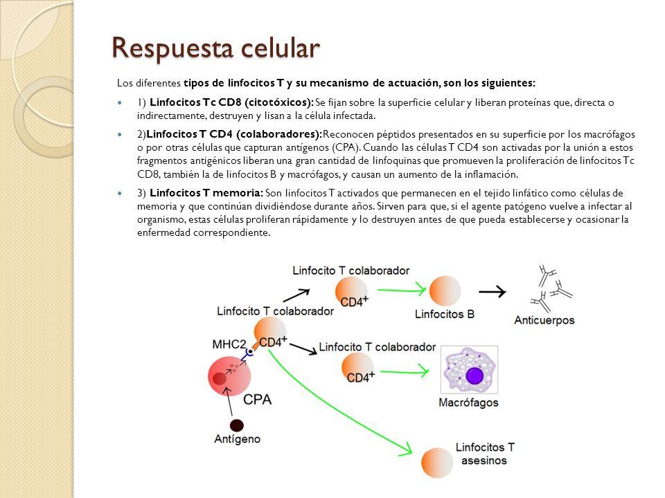 Respuesta celular Los diferentes tipos de linfocitos T y su mecanismo de actuación, son los siguientes: