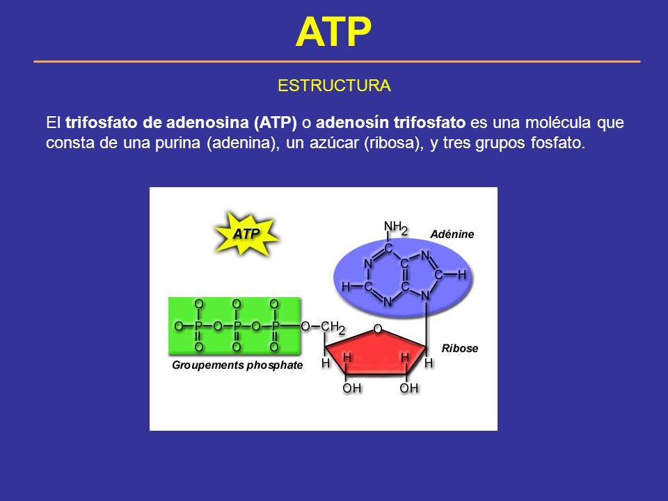 ATP ESTRUCTURA.
