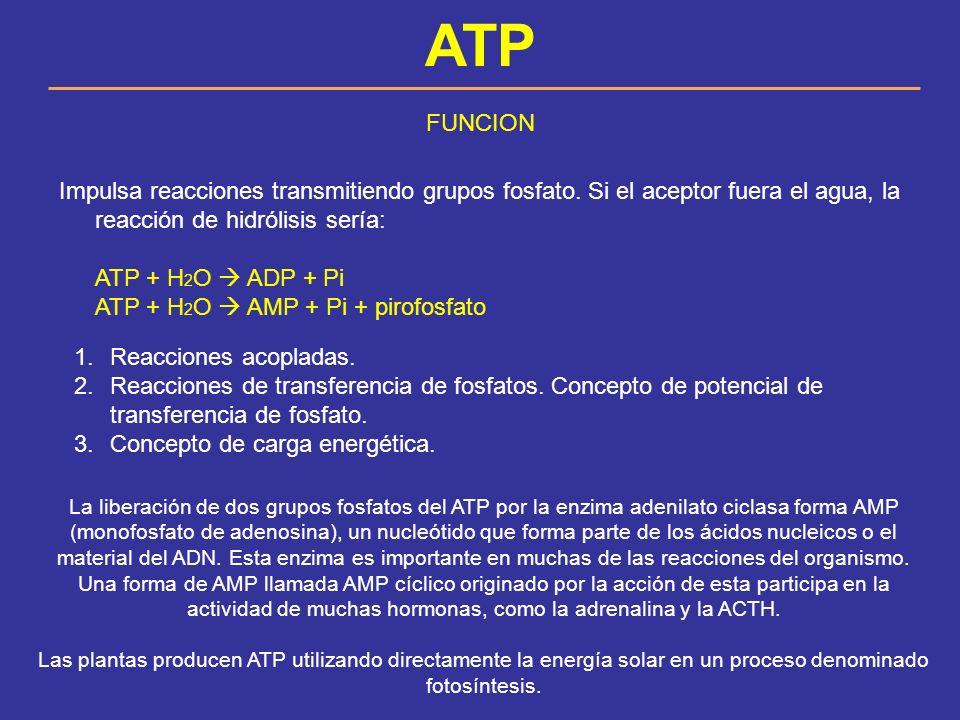 ATP FUNCION. Impulsa reacciones transmitiendo grupos fosfato. Si el aceptor fuera el agua, la reacción de hidrólisis sería: