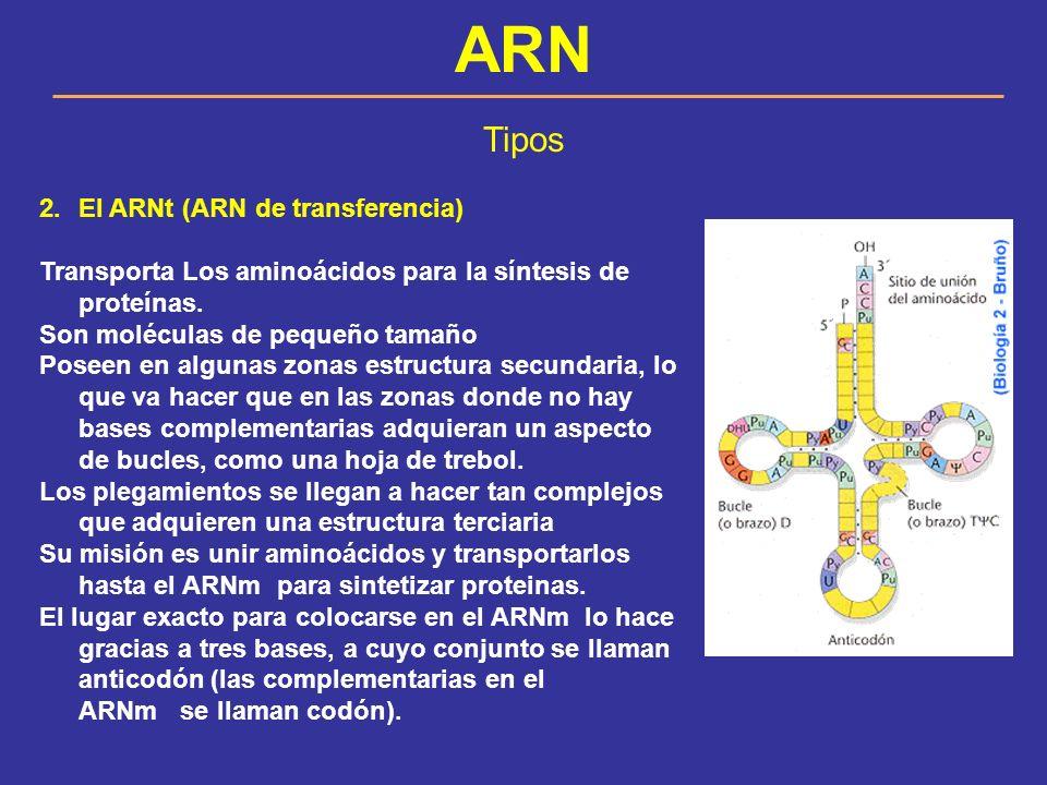 ARN Tipos El ARNt (ARN de transferencia)