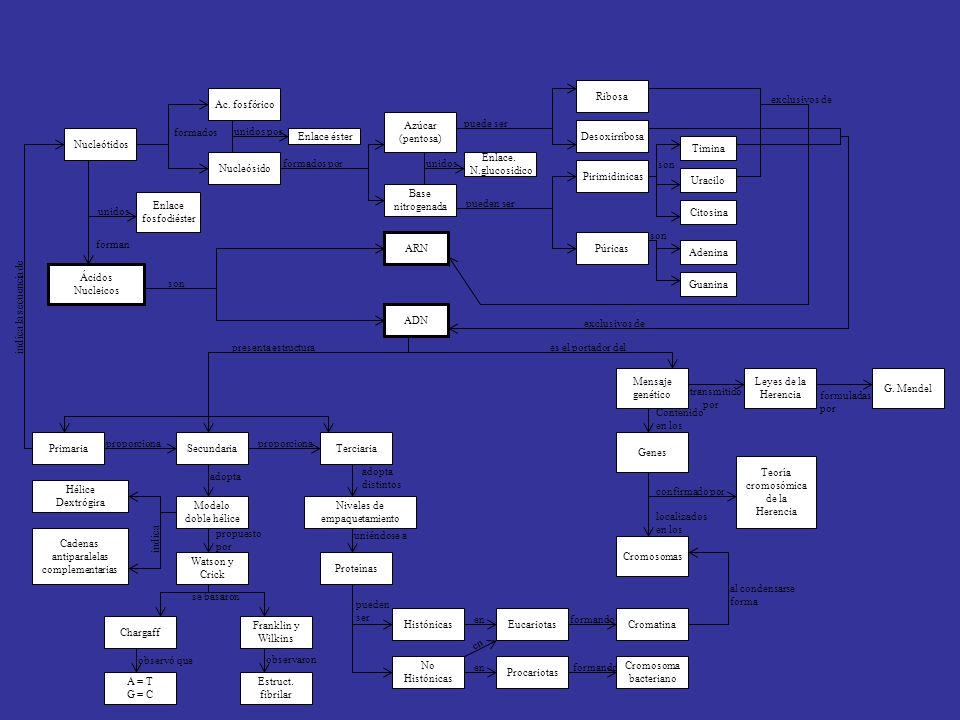 Ribosa Ac. fosfórico. exclusivos de. Azúcar. (pentosa) puede ser. formados. unidos por. Desoxirribosa.