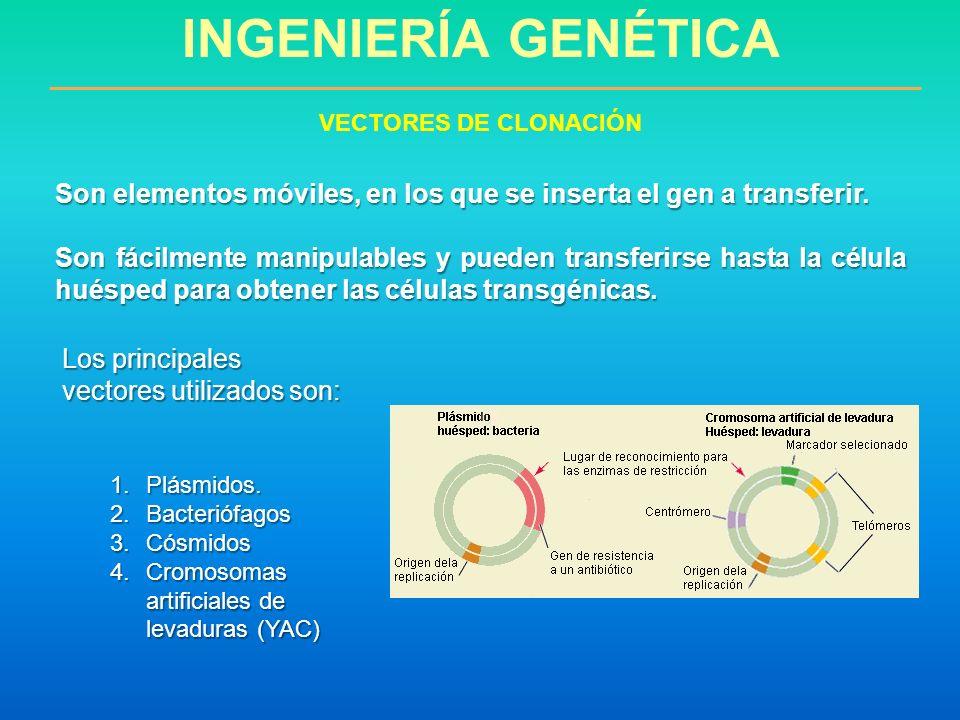 INGENIERÍA GENÉTICA VECTORES DE CLONACIÓN. Son elementos móviles, en los que se inserta el gen a transferir.