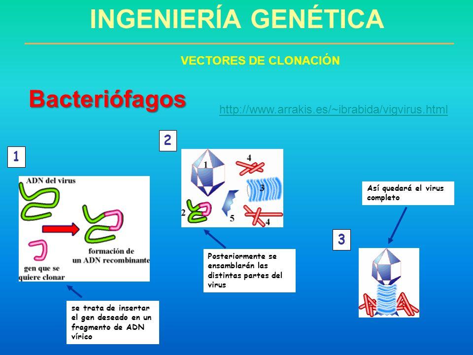 INGENIERÍA GENÉTICA Bacteriófagos 2 1 3 VECTORES DE CLONACIÓN