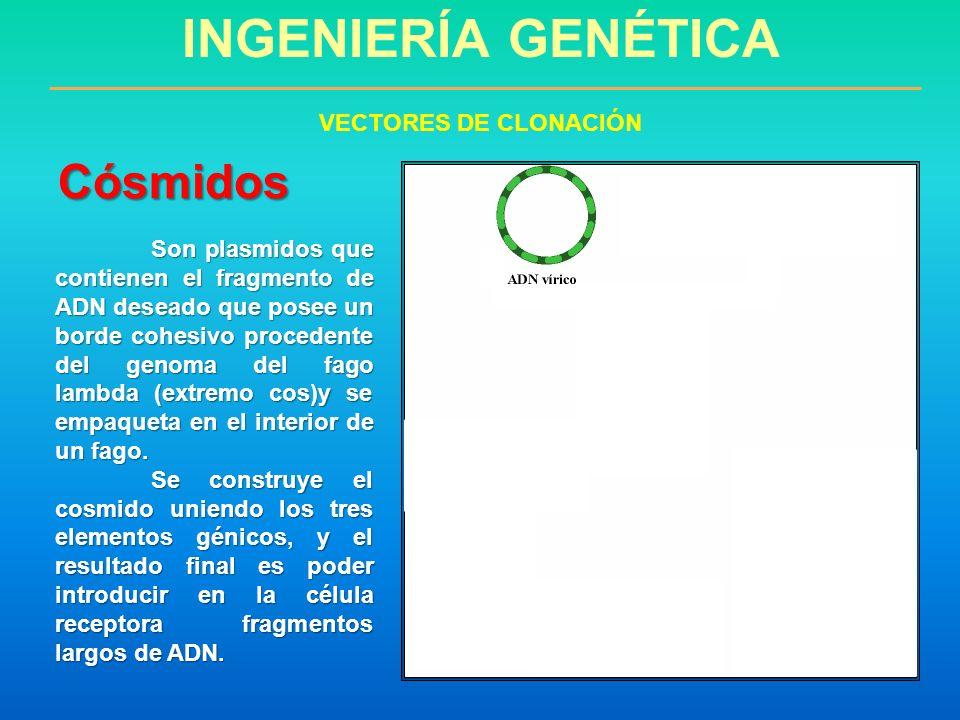 INGENIERÍA GENÉTICA Cósmidos VECTORES DE CLONACIÓN